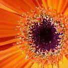 Orange Gerbera by SusanAdey