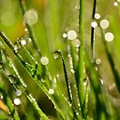 Diamonds in the Grass by Zoe Harris