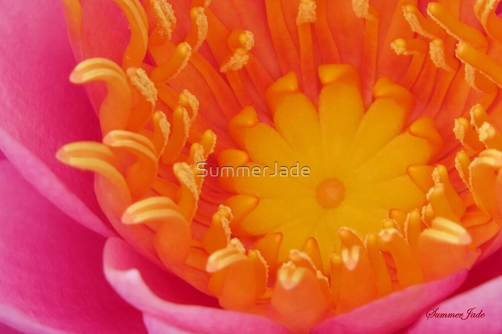 Looking Inside a Pink Water Lily  by SummerJade