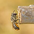 Australian Native bee by Rick Playle