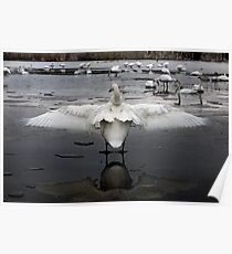 Trumpeter Swans of Heber Springs, AR - 2 Poster