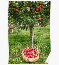 Full basket near apple tree Poster