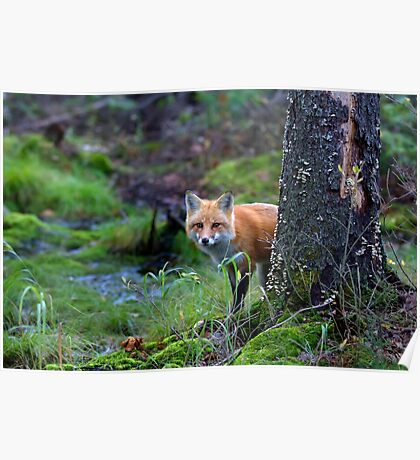 Red Fox - Algonquin Park, Canada Poster