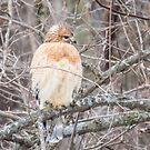 Red Shouldered Hawk At George Wyth Park, Waterloo, Iowa by Deb Fedeler