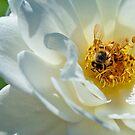 Bee on a white rose by Eyal Nahmias