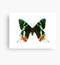 Sunset Moth Canvas Print