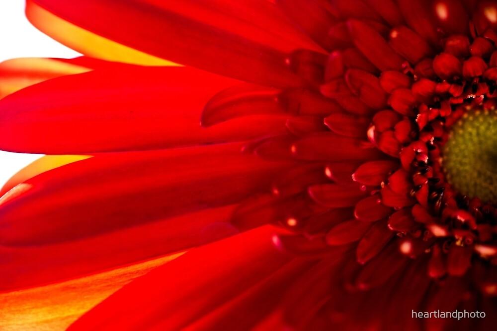 Red Macro Daisy Flower by heartlandphoto