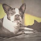 A Boston and her Shadow by Pam Humbargar