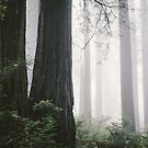 Foggy redwood forest in North Coast by Hotaik  Sung