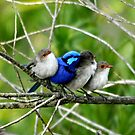 Blue Wren Family by Coralie Plozza