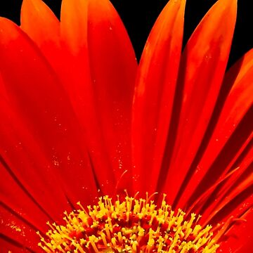 Red Gerbera Daisy - Photography by NCCreation