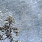 12.1.2017: Pine Tree in Blizzard by Petri Volanen