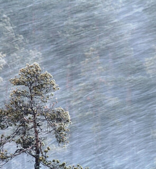 12.1.2017: Pine Tree in Blizzard by Petri Volanen