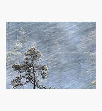 12.1.2017: Pine Tree in Blizzard Photographic Print