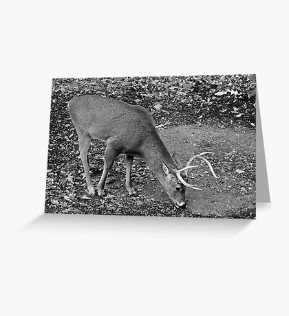 White-Tailed Deer - Buck - Odocoileus virginianus Greeting Card