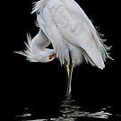 Snowy Egret Preening by Brian Tarr