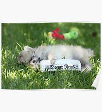 Stewie my puppy pomeranian Poster