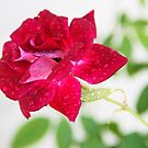Rainy Day Rose by Chet  King