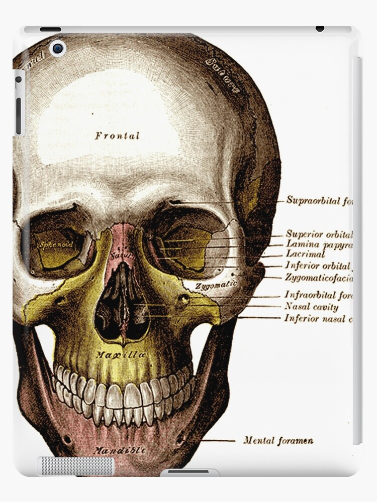 Gray\'s Anatomy Skull\