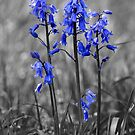 Bluebells by Anthony Hedger Photography