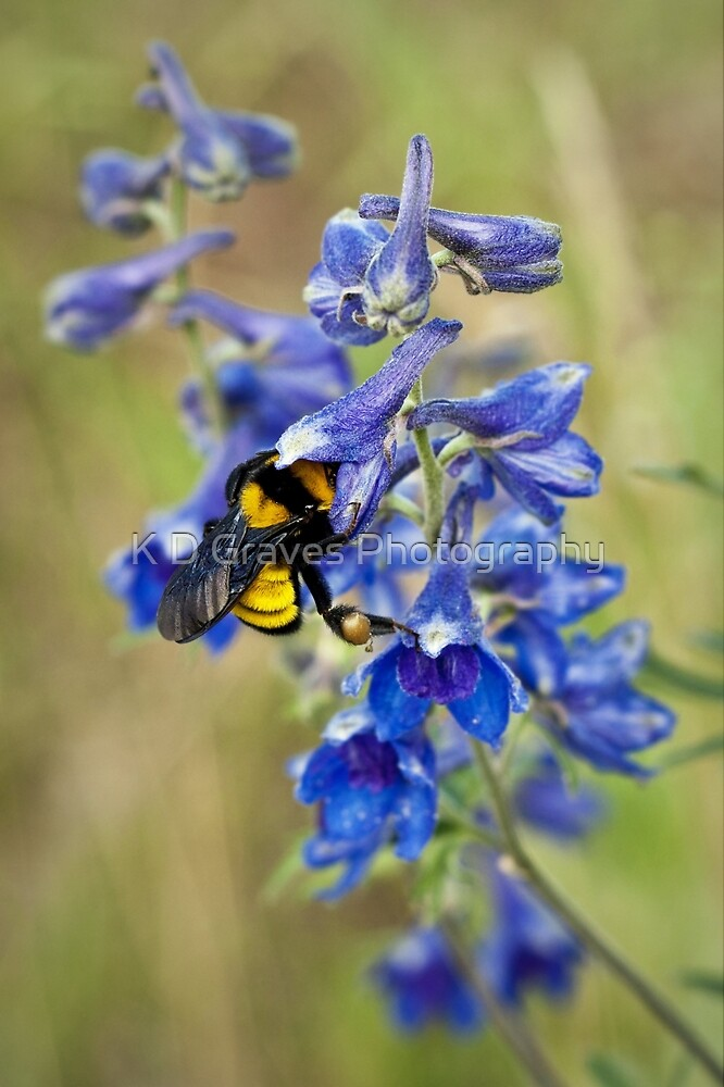 Bumble Bee On Larkspur by K D Graves Photography