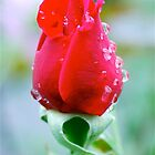 Mum's Rose by Penny Smith