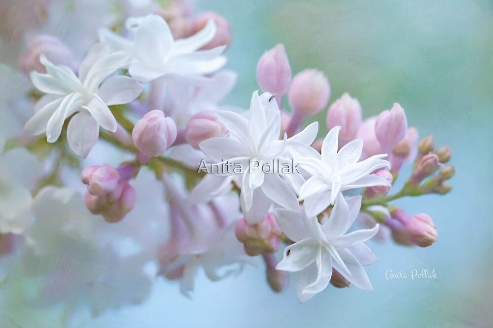 Soft and Lovely Lilac Blossoms by Anita Pollak