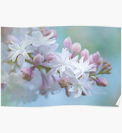 Soft and Lovely Lilac Blossoms Poster