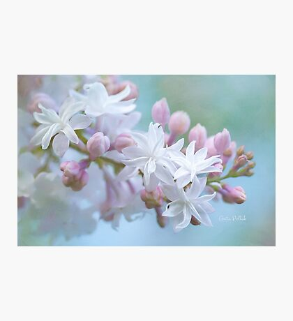 Soft and Lovely Lilac Blossoms Photographic Print