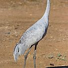 Brolga at Longreach by Richard  Windeyer
