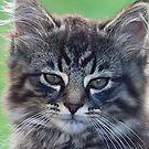 feral kitten by melynda blosser