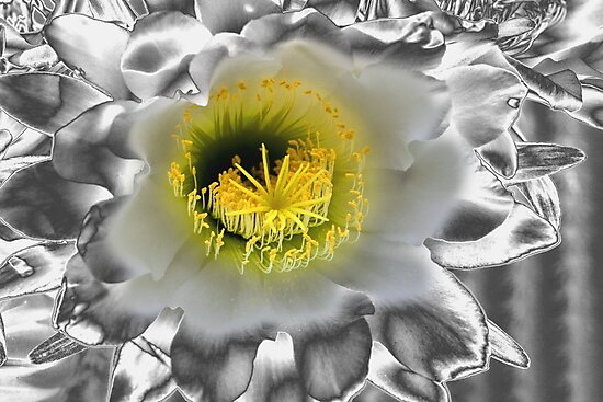 Metalised Night Cactus Flower by Carole-Anne