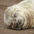 Baby Grey seal by daveashwin