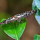 Spotted Butterfly  by Steve Small