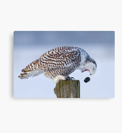 Cough it up buddy - Snowy Owl Canvas Print
