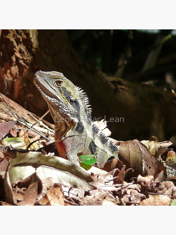Forest Lizard on the Gold Coast, Queensland. by yallmia
