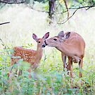 A morning kiss - White Tailed Deer Fawn by Jim Cumming