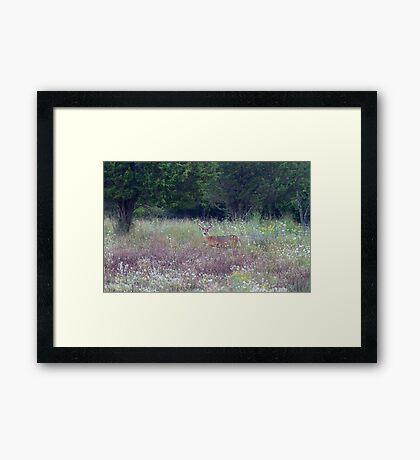 Buck in the Meadow - White tailed deer buck Framed Print