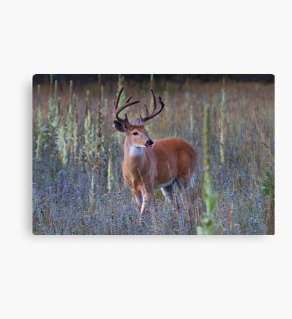 Early Morning White tailed Buck Canvas Print