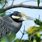 A Framed Yellow-Crowned Night-Heron ( Nyctanassa violacea ) by Jeff Ore