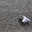 Gull on Breaking Ice by Jo Nijenhuis
