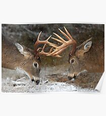 Clash of the Titans - White-tailed deer Poster