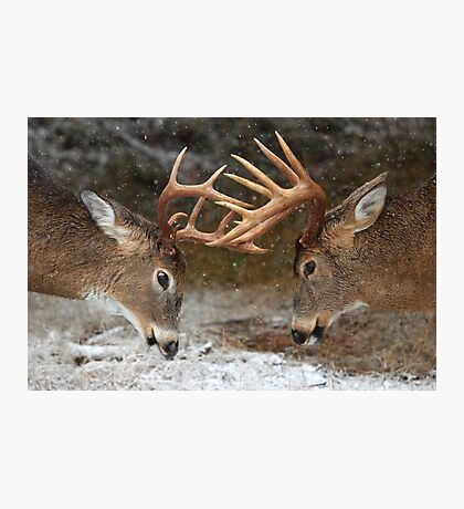 Clash of the Titans - White-tailed deer Photographic Print