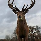 stag   by daveashwin