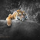 ...Tiger in a selective colour costume ... by John44