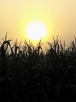 Sunrise over cornfield.....Up in the sky by jammingene