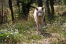 Hudson Bay Wolf by Jo Nijenhuis