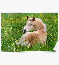 Haflinger Horse Cute Foal Resting in a Flowerbed Poster