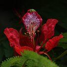 Flambouyant tree flower by richeriley