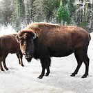 North American Bison... by Poete100